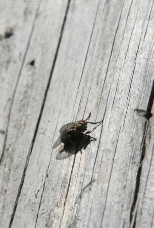 Похмельная муха