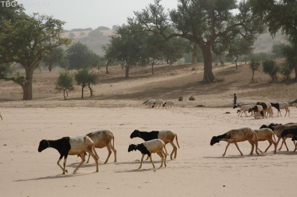 Овечки-доминошки бредут по руслу высохшей реки