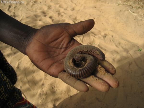черная африканская гигантская многоножка, однако