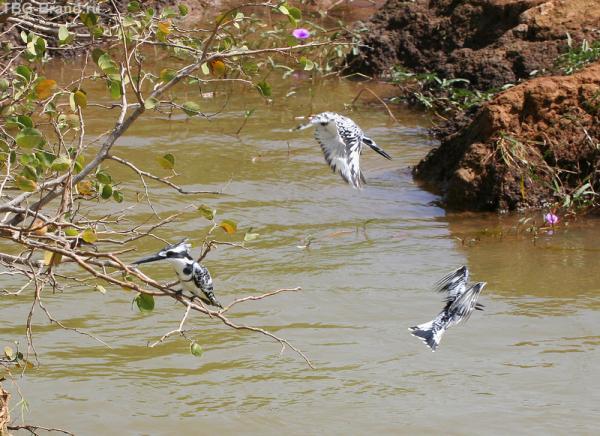 Пегие зимородки