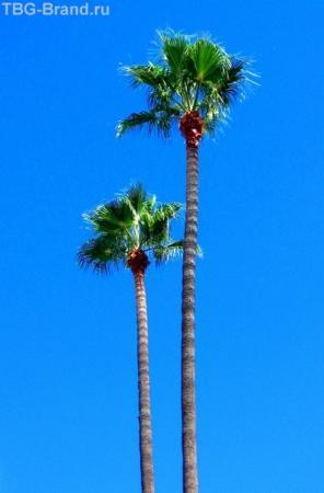 Лос-Анджелесские пальмы