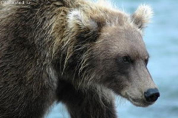 шантарский медведь