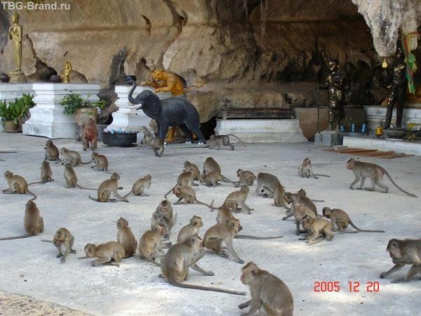 Много диких обезьян