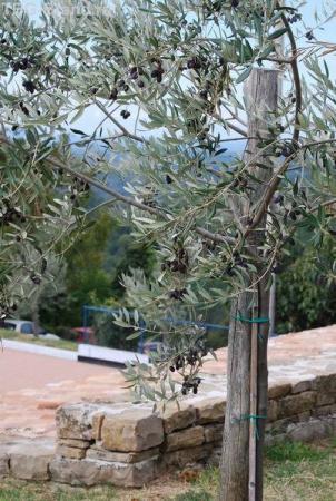 оливки чернеют