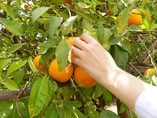 О, апельсины!