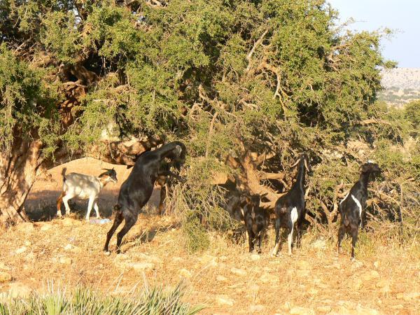 Козы в Марокко пасутся исключительно на деревьях.