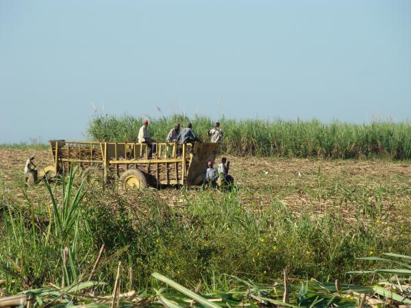 Сбор сахарного тросника