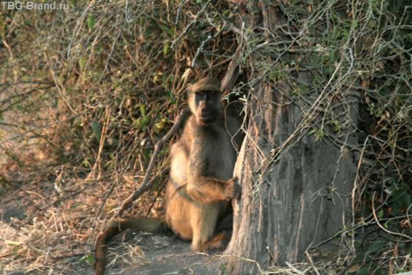 бабуин спрятался