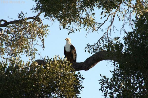 красавец орел