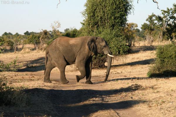 слон-преграда