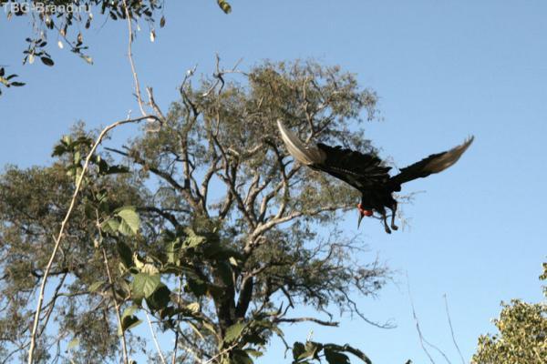Ground Hornbill в полете