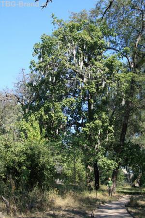 масштаб дерева