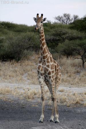 не пьющий жираф
