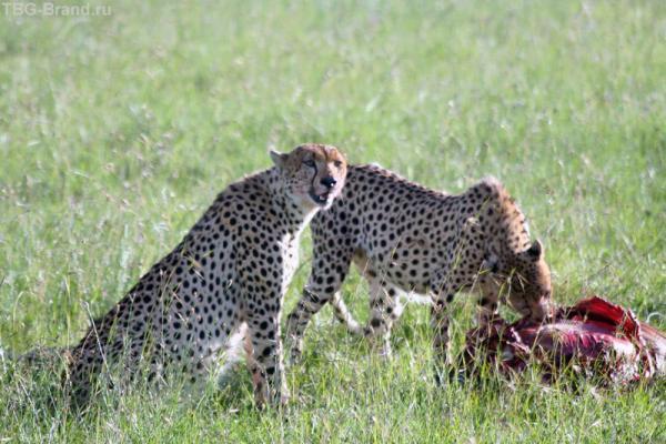 гепарды с добычей