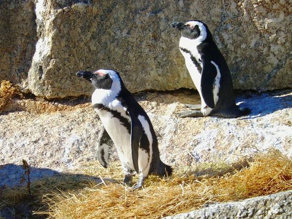 и его капские пингвины