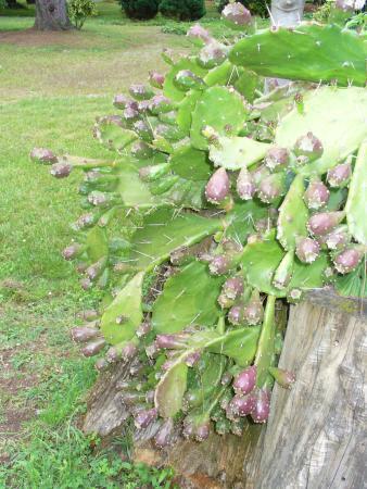 10.Плоды кактуса. Вообще, их можно есть (если осторожно)