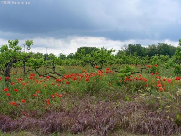 Виноградники в маеэ