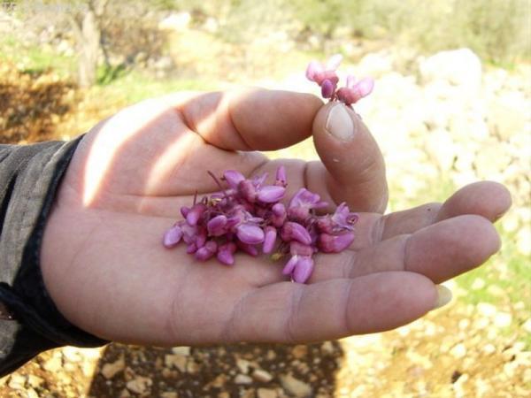 целебные цветы на ладони Майна