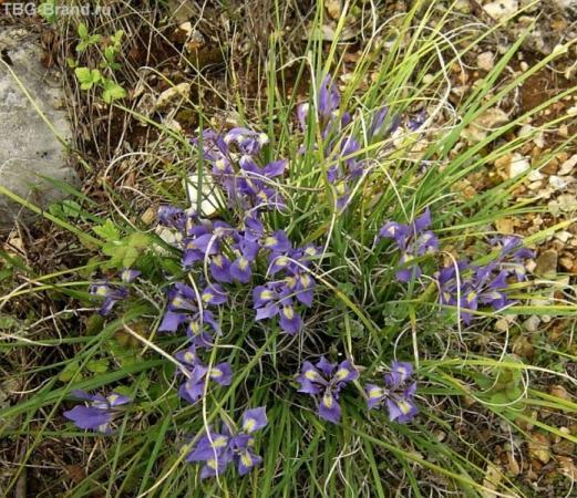 цветение ирисов в горах