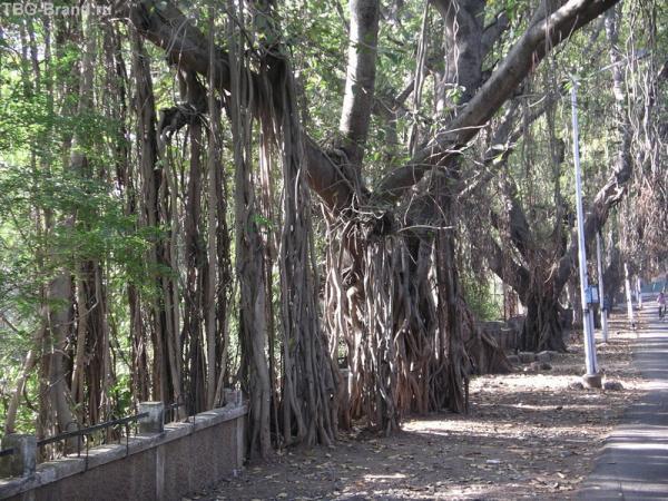 очень укорененное дерево