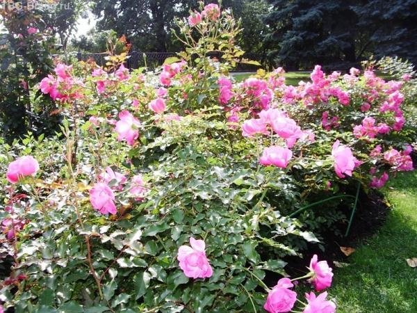 розы в тайницком саду