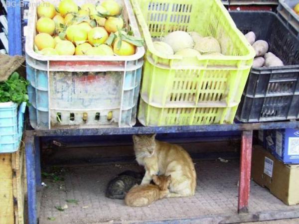 Марокканская кошка с котятами