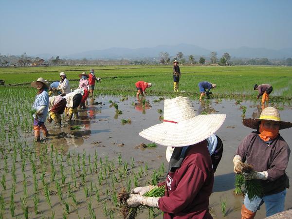 Таиланд. На рисовых полях.