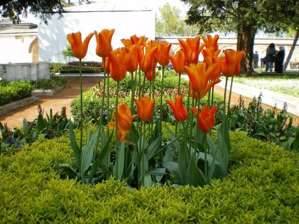 Тюльпаны от султанов