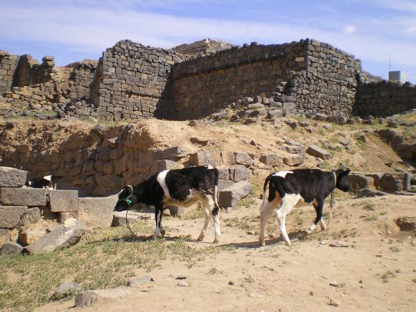 Теперь в городе из черного базальта пасутся коровы