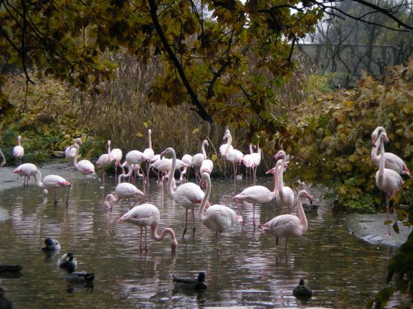 Красавцы фламинго
