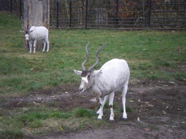 Аддаксы - редкие африканские антилопы