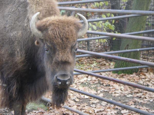 Взгляд бизона