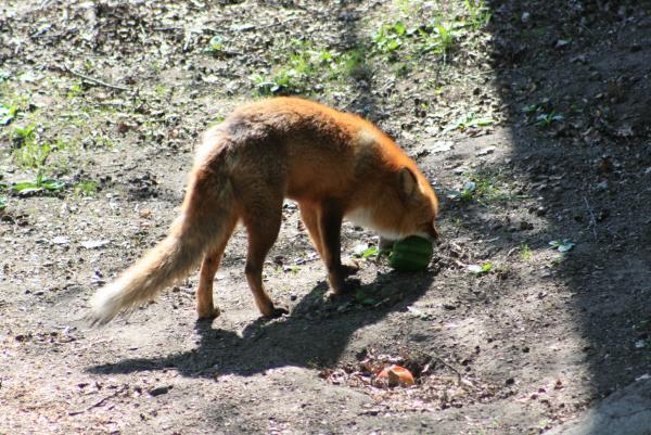 Шведская лиса - вегетарианка