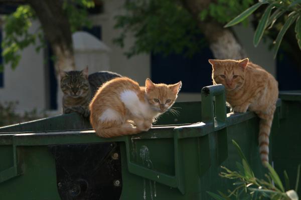 Коты Кастеллоризо