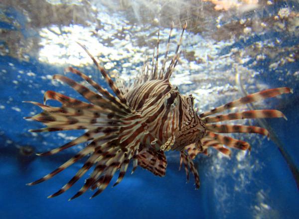 рыба-петух