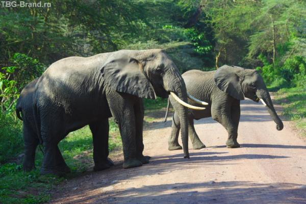 Вожак слонов