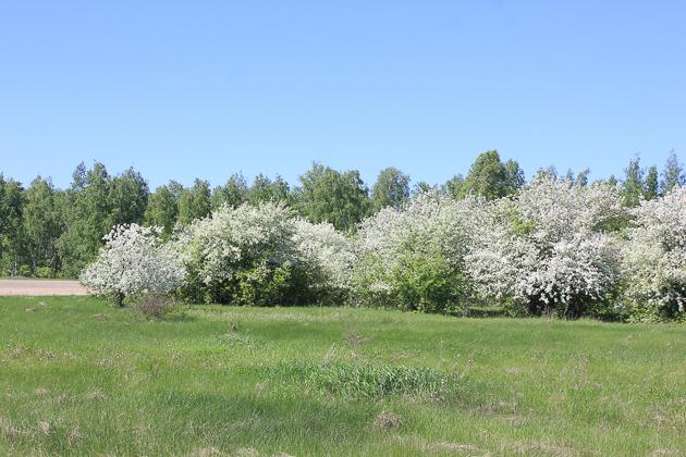 Цветущая весна. Закомалдино Курганская область