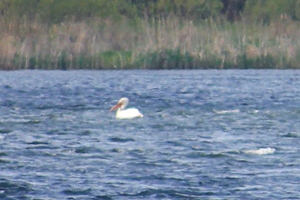 Туда, где живёт пеликан... (Озеро Дёгтево Курганская область)